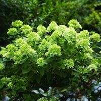 Гортензия метельчатая Little lime