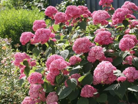 Гортензия древовидная Pink Anabel
