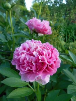 Пион Carnation bouguet