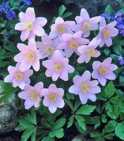 Анемона Alba-rosea (Nemorosa)