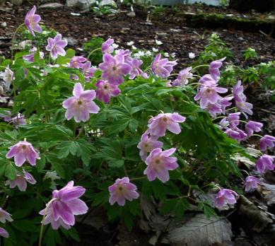Анемона Kentrish pink (Nemorosa)