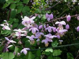 Василистник Dipterocarpum (Делавея)