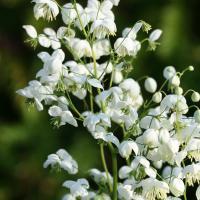 Василистник Splendide white (Делавея)
