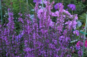 Дербенник Dropmore purple