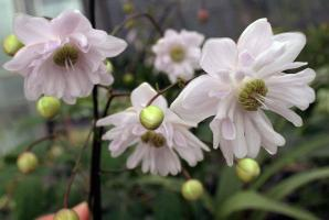 Aнемонопсис Flora pleno