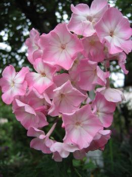 Флокс Цвет яблони