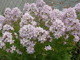 Kолокольчик Loddon Аnna (Молочноцветковый)
