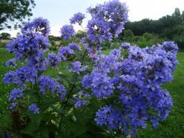 Kолокольчик Prichard's variety (Молочноцветковый)