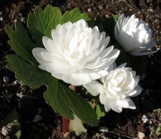 Сангвинария Flora plena