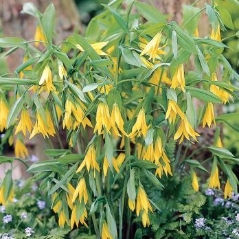 Увулярия Grandiflora (Крупноцветковая)