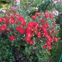 Хризантема желто-красная (Корейская)