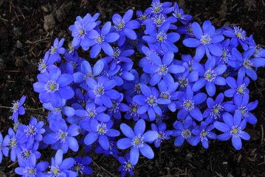 Печеночница Синяя