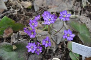 Печеночница Пурпурная (Японская)