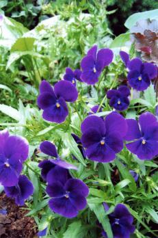 Фиалка Фиолетовая (Рогатая)