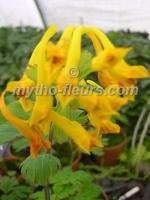 Хохлатка Nigro apiculata