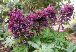 Хохлатка Purple beauty