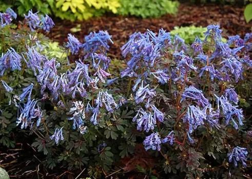 Хохлатка Fluxiosa purple leaf