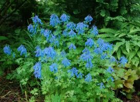 Хохлатка Elata craighton blue