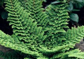 Папоротник Plumosum densum (Многорядник щетинконосный)
