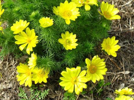 Адонис Весенний Vernalis