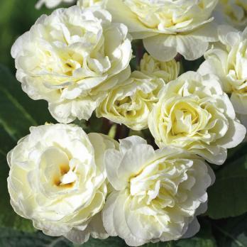 Примула Belarina cream (Гибридная)
