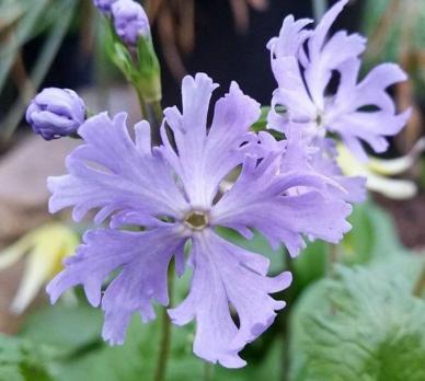 Примула Frilly Blue (Зибольда)
