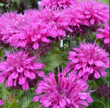 Монарда Purple lace